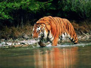 Tigre al Acecho_800
