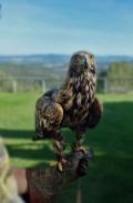 Àguila daurada