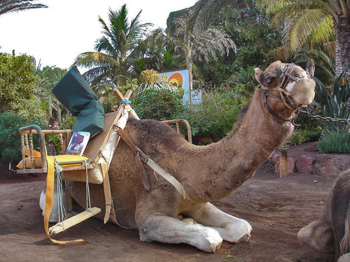 Fuerteventura - Camel Safari