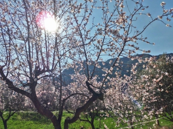 Almendros en flor en Riells del Fai