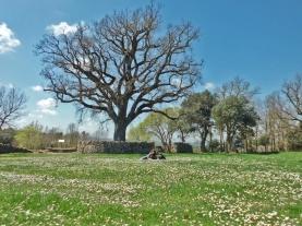 Santa Coloma Sasserra - Roure del Giol
