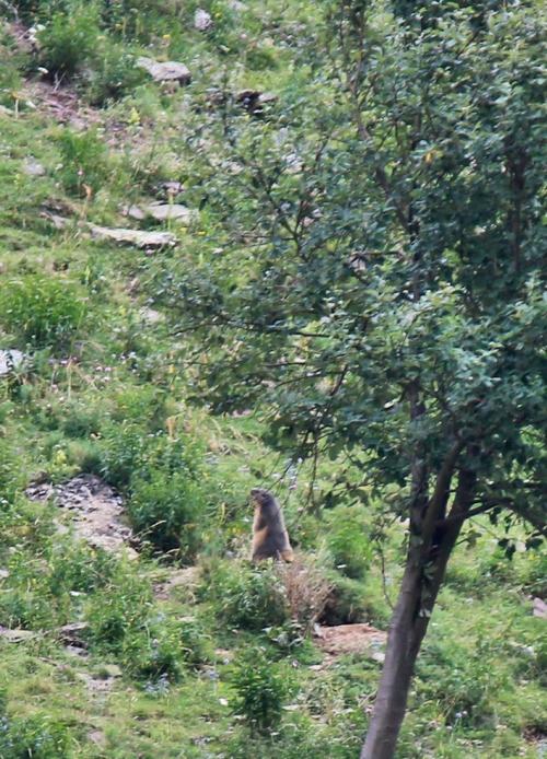 Parque Nacional de Ordesa y Monte Perdido - Marmota en la Larri